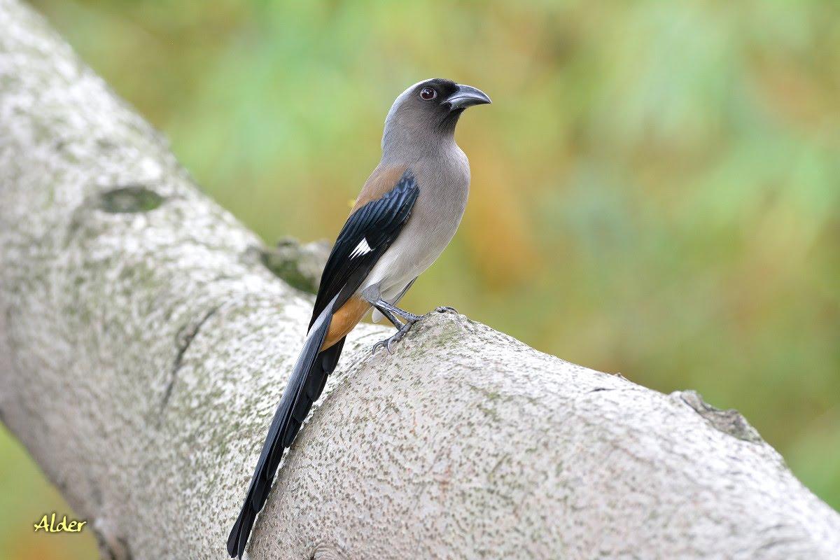 20160330 樹鵲 - 里中鳥網站