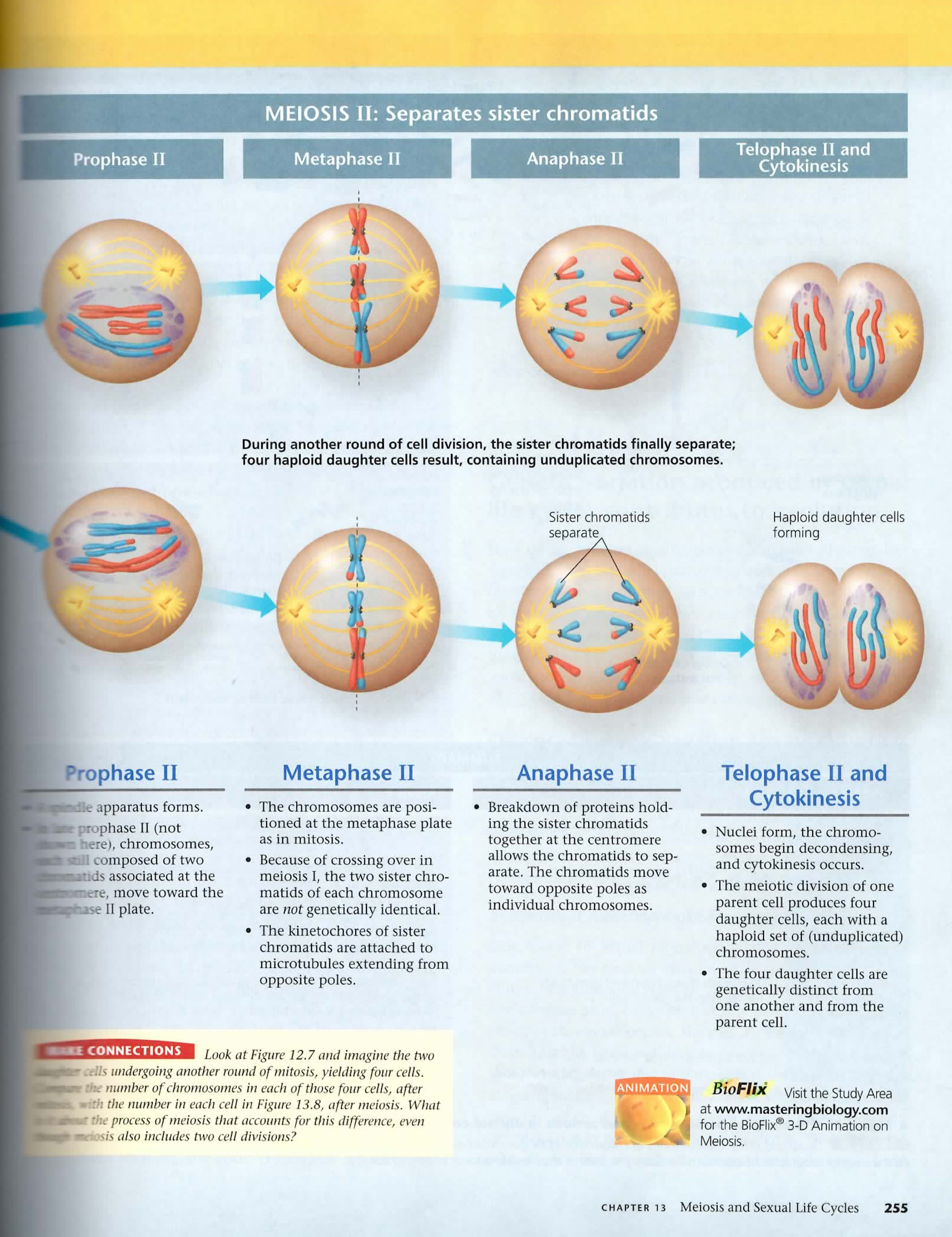 drag the diagram of stages meiosis single polen part a identifying mitosis