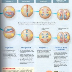 Meiosis And Mitosis Diagram Blank Wiring For H Band Ms Mcpartland
