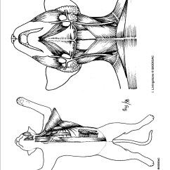 Cat Muscle Anatomy Diagram 1997 Mitsubishi Mirage Radio Wiring Muscles Forearm Coloring Page Of Organ Unit 8 Dissection The Smith Webzone