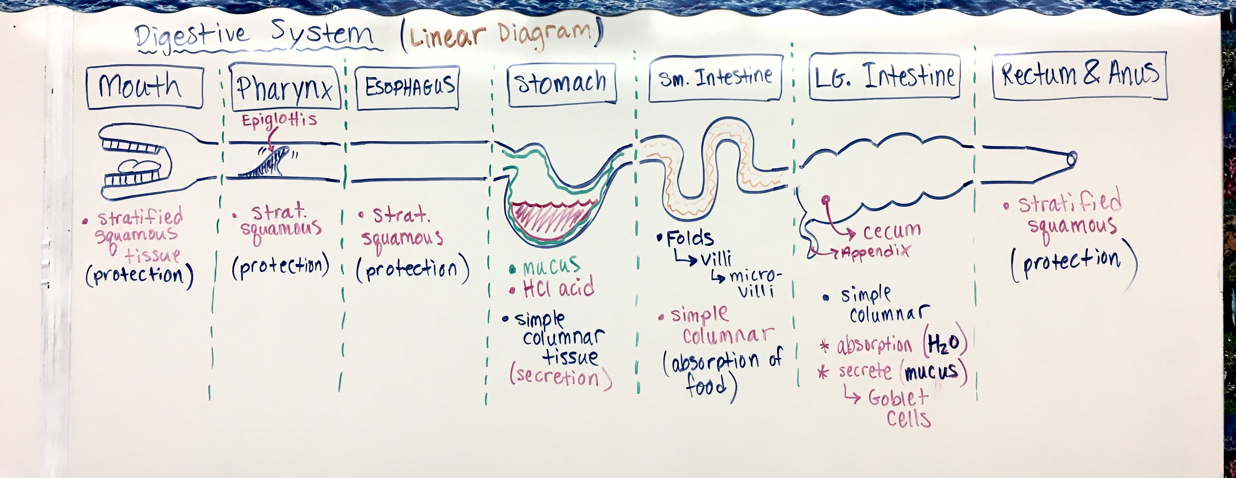 1 12 17 Notes Digestion Amp Epithelial Tissue