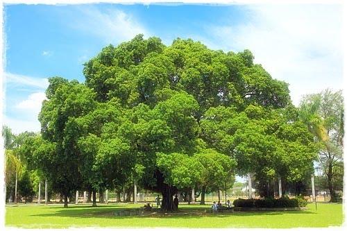 逢甲大學有幾棵榕樹:首部曲 - 104級乙班抽樣調查之哈囉你好嗎