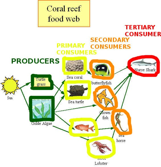 coral reef food chain diagram whelen 295hfsa1 wiring mister hossner s neighborhood