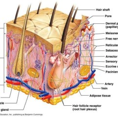 Dermis Layer Diagram Mopar Wiring Of Skin Tissue All Data Integumentary Mr Moore Muscle