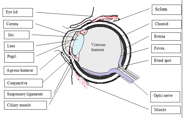 fig 6 the structure of the eye