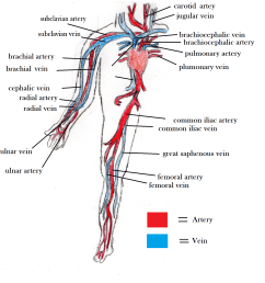 arteries and veins blood vessel diagram [ 1704 x 1764 Pixel ]