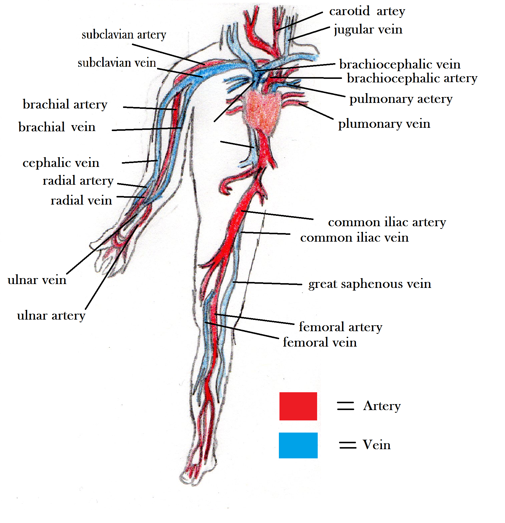 hight resolution of arteries and veins blood vessel diagram