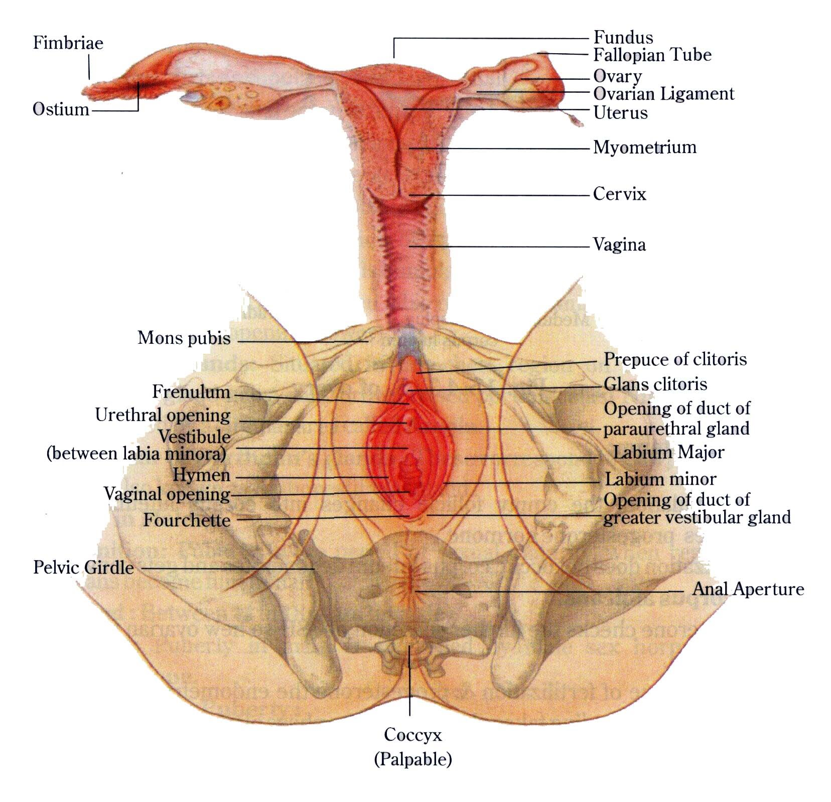 hight resolution of b female reproductive system