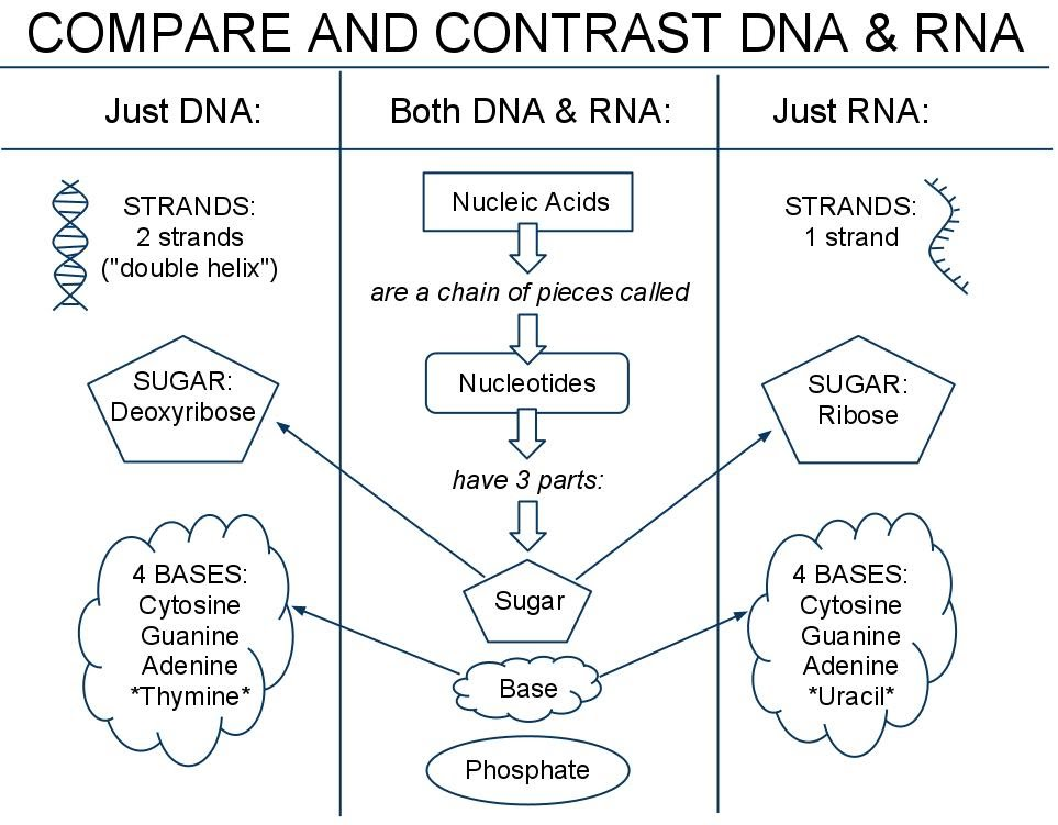 venn diagram comparing dna and rna cat5 wiring a vs b 01 notes biology notebook