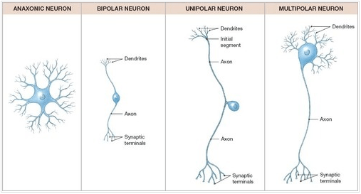 spinal cord structure with diagram shovelhead points wiring neuron and classification - brooke hamilton neural tissue
