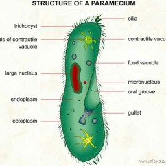 Paramecium Diagram Blank Kenwood Ddx370 Wiring Of Google Diagrams Thumbs Characteristics Bryson Nalder With Labels In English Anabolic Pathway Is The Set