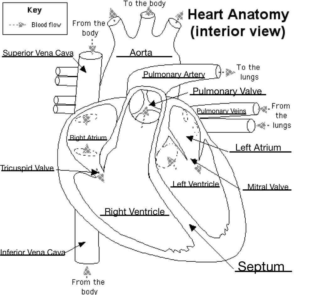 hight resolution of labeled heart diagram