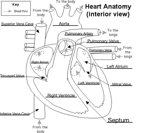 small resolution of labeled heart diagram