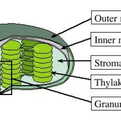 Chloroplast Diagram With Labels Phase Change Oxygen Great Grade 8 Cells