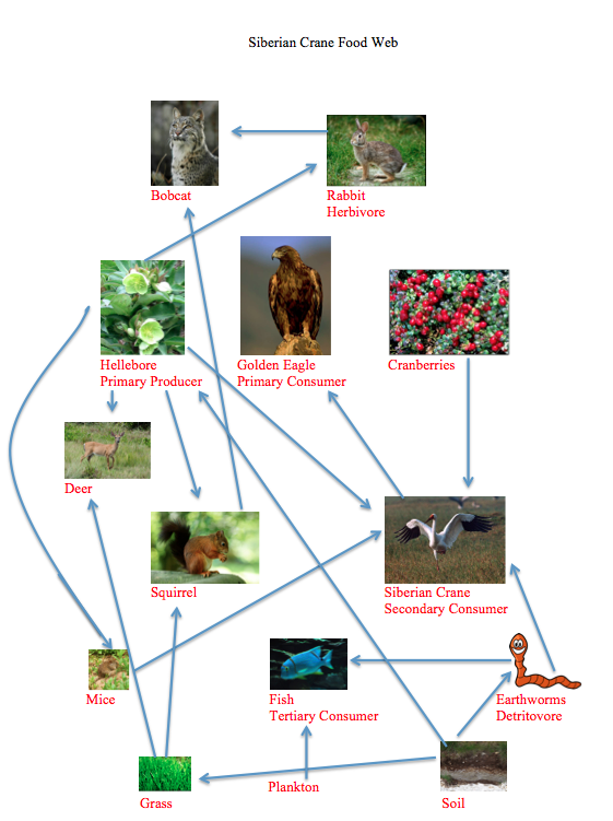 taiga food web diagram ef thermo fan wiring biome consumers www picswe com siberian crane endangered cranes png 561x751