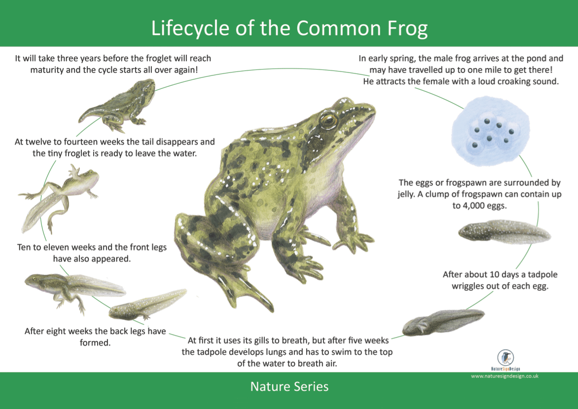 Frogs Life Cycle