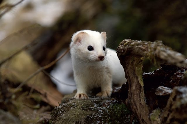 Discover animals that live in the boreal forest habitat. Animals In The Taiga Taiga