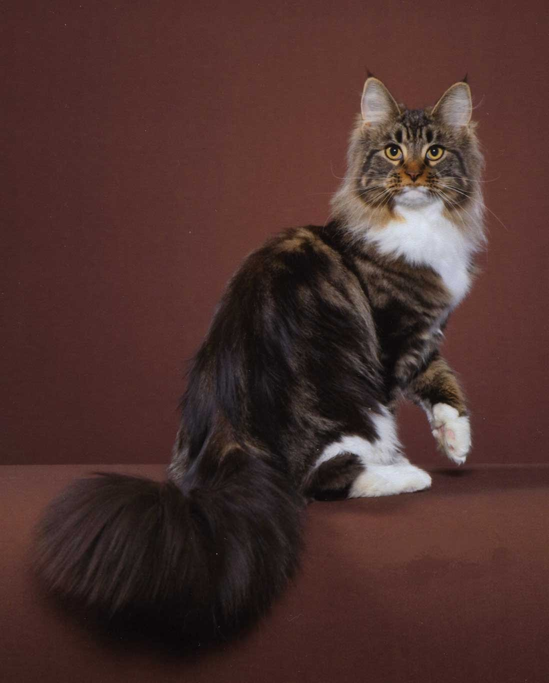 Maine Coon Cats For Sale In Iowa : maine, KatTails, Maine, Coons