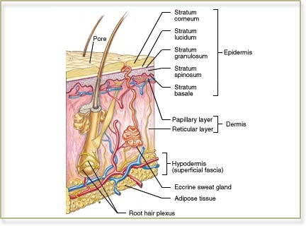 integumentary system diagram labeled pivot joint case study ii mrs simms class
