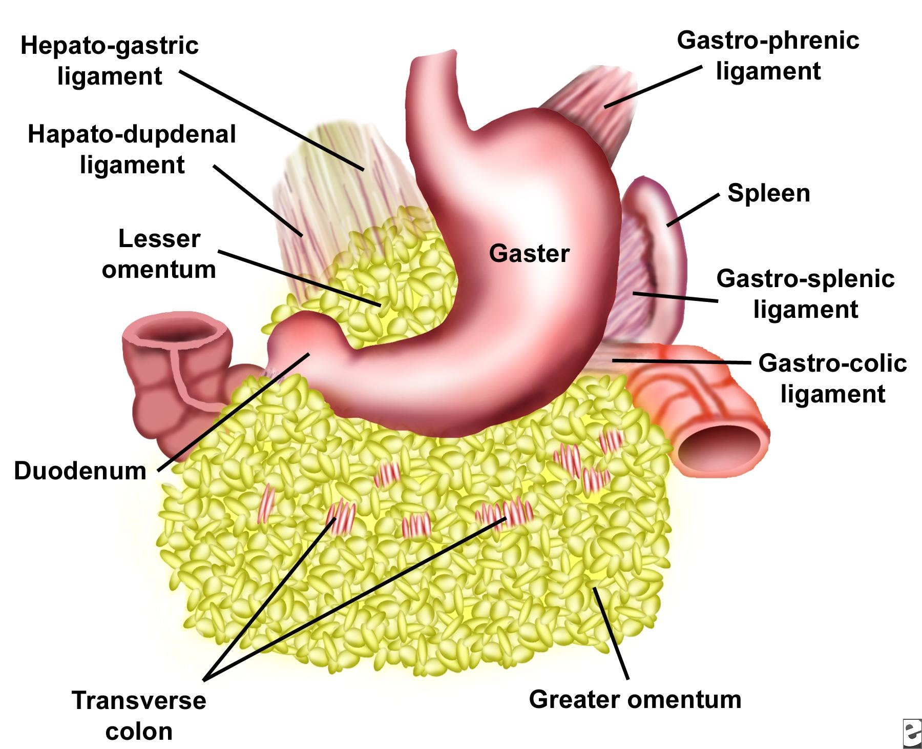 hight resolution of mesentery two layered fold of peritoneum that attaches part of intestines to posterior abdominal wall and includes mesentery of small intestine