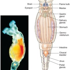 Rotifer Diagram Labeled Euglena 400 Magnification Classification Wi16 Bio 124 Section61 Group3 Figure 10 Untitled Photograph And Of A Retrieved March 5 2016 From Http Www Hartnell Edu Sites Default Files U136 Wheat 14
