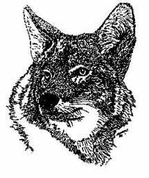 Eastern Coyote Drawing