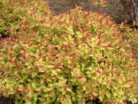 Magic Carpet Spirea In Winter - Carpet Vidalondon