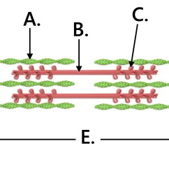 Sarcomere Diagram To Label Refrigeration Wiring Diagrams Skeletal Muscle Physiology Review Sheet Clare Hays