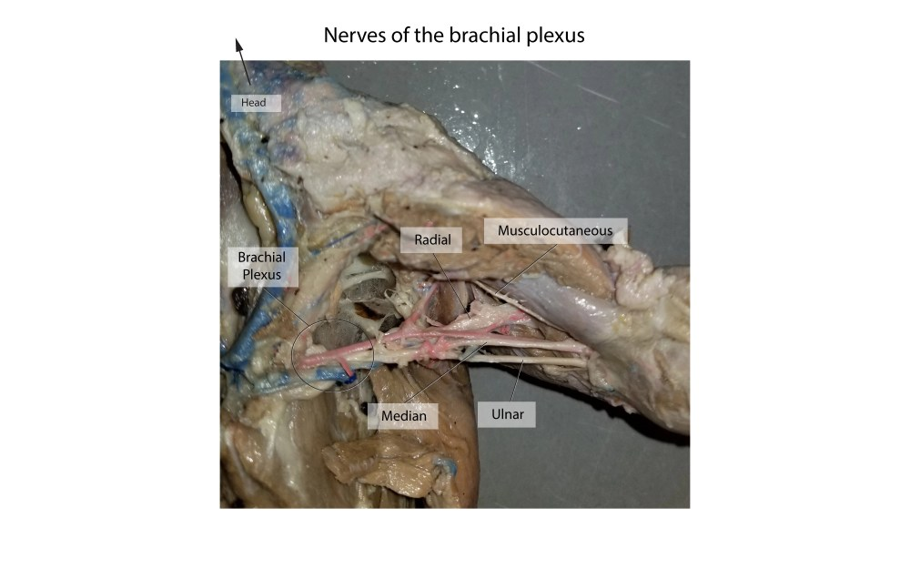 medium resolution of mink arm nerves