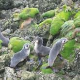 Pups on Macquarie Island
