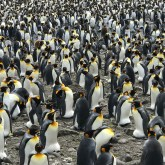 King Penguins on Crozet Island