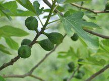 Common Fig Propagation | Christina's Plant Propagation Page