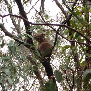 Koala in You Yangs Park
