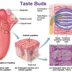 Human Taste Buds Diagram Solar Energy How Does It Work Why Are Everyone S Different Siowfa15 Science In Our Fungiform Papillae Vallate Papilla Gustatory Hairs
