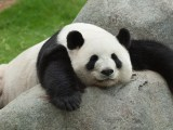 Panda And Bamboo Siowfa16 Science In Our World