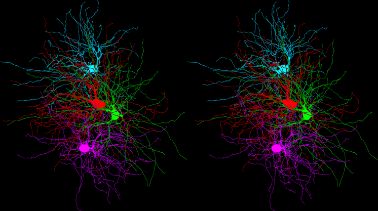 Tracings of four thalamocortical cell dendritic arbors from a 3D EM volume of mouse LGN.