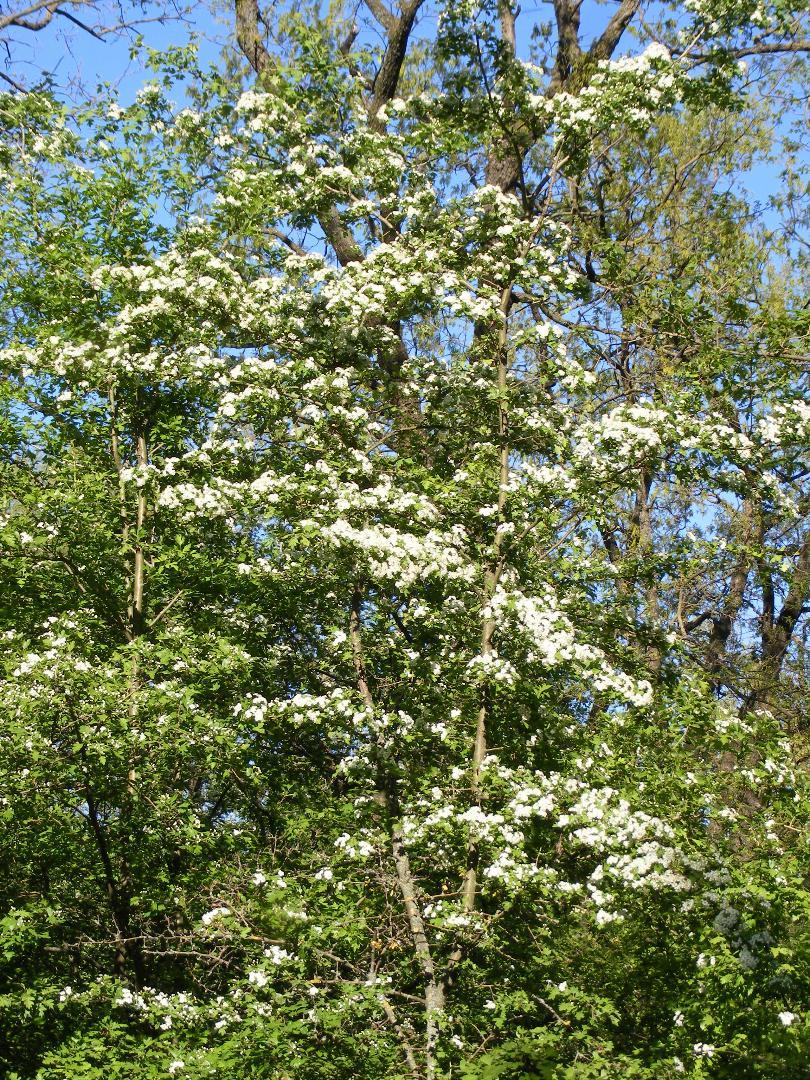 Flori de primăvară-Țîrțîră Florentina