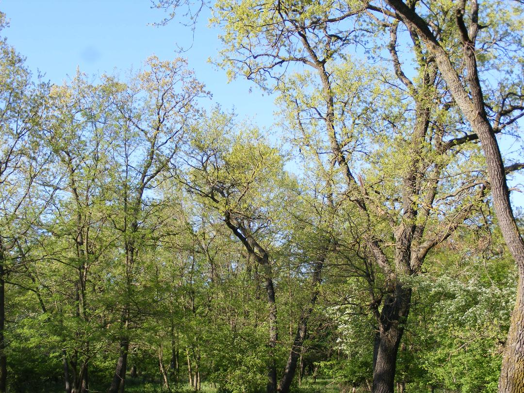 Frăția copacilor-Găinaru Ana Maria