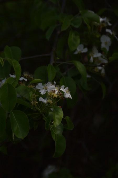 Mere pădurețe-Crișan Gabriel