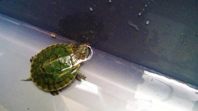 Kuri The Turtle