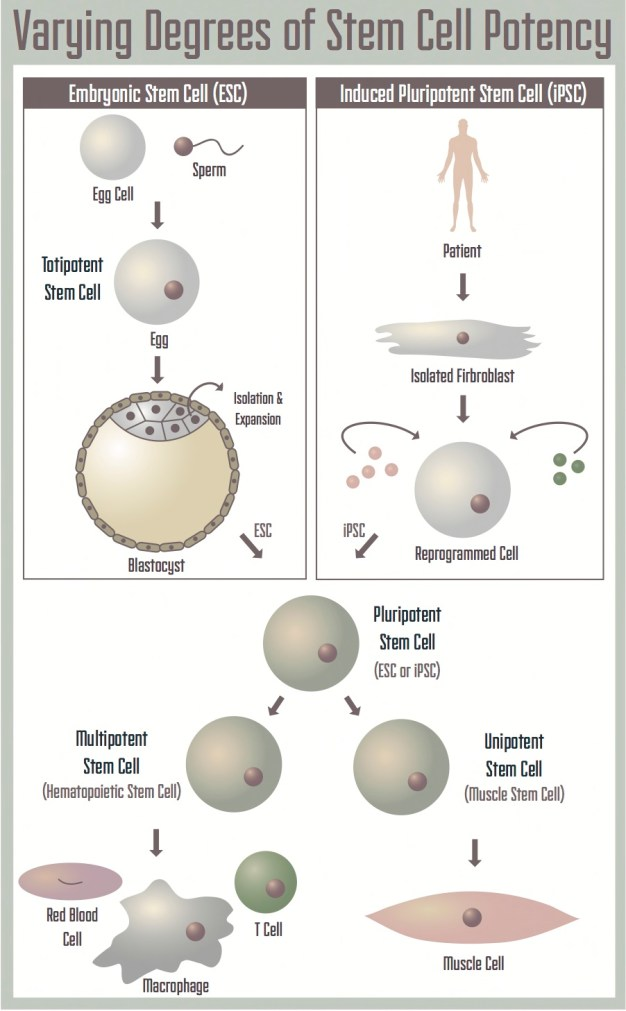 Stem cells: a brief history and outlook