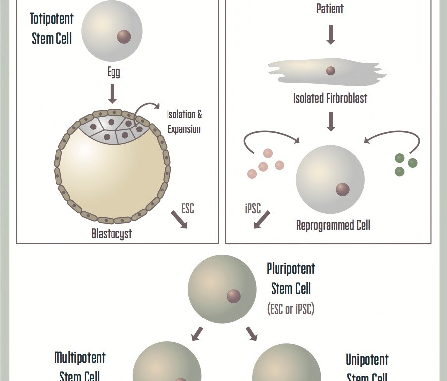 Stem cells: a brief history and outlook - Science in the News