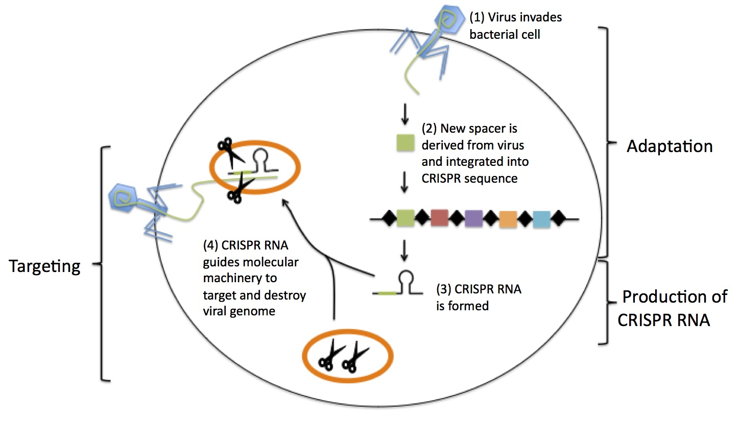 basic virus diagram 3 phase submersible pump control box wiring crispr: a game-changing genetic engineering technique - science in the news