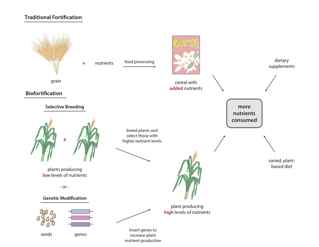 Good as Gold: Can Golden Rice and Other Biofortified Crops