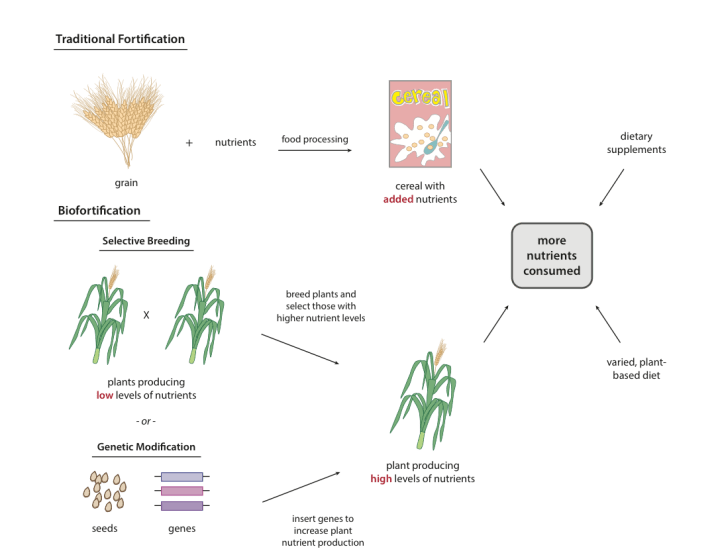 Good As Gold Can Golden Rice And Other Biofortified Crops Prevent