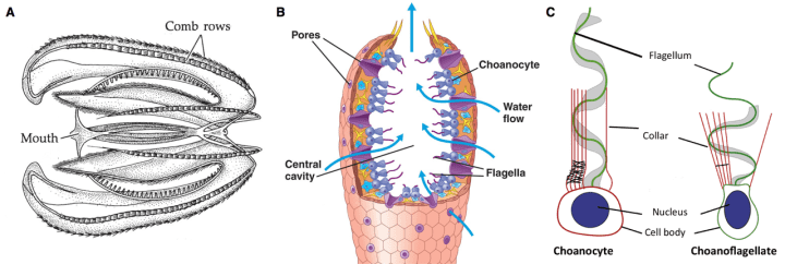 Figure 3: A) Comb jelly showing rows of cilia (modified with permission from [12]). B) Cut of sponge indicating water flow and main structures. C) Comparison between one sponge choanocyte and the unicellular choanoflagellate (modified from [6]).