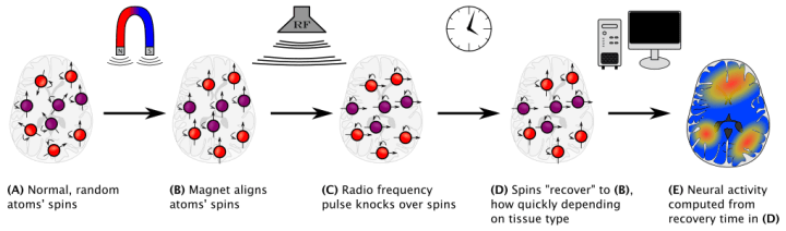 Figure 2. Schematic of how functional magnetic resonance imaging (fMRI) works. Protons inside atoms in the brain are always spinning, but each atom's spin is in a different direction. Using a powerful magnet, we can align all the spins so they are pointing in the same direction. Next, using a radiofrequency pulse, the spins of all the atoms are tilted over, but they're still all pointing in the same direction. However, over time, their spins will move back to the original position. Depending on the characteristics of the atoms, some will return more quickly than others. Importantly for fMRI, oxygenated blood takes longer to return to normal than deoxygenated blood. FMRI measures this difference as the blood oxygenation level dependent, or BOLD, signal. Active parts of the brain need to have their oxygen stores replenished, so the BOLD signal tells us which brain areas have been more active than others.