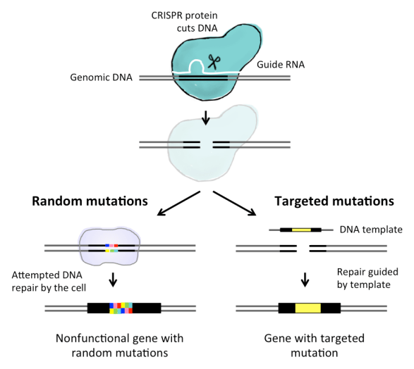 Figure 1: How CRISPR works. A guide RNA that matches the genomic DNA sequence of interest helps direct a CRISPR protein toward this site in the DNA. The protein cuts the strands of DNA. The cell will try to repair this break, but during this process may introduce random mutations that render the gene non-functional – the gene is thusly silenced. However, if scientists introduce a DNA template that is slightly different from the original DNA sequence, the cell can use it to guide the repair and introduce a specific mutation into the gene sequence.