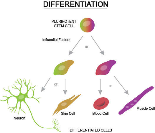 Disease In A Dish Using Stem Cell Derived Neurons To Understand The