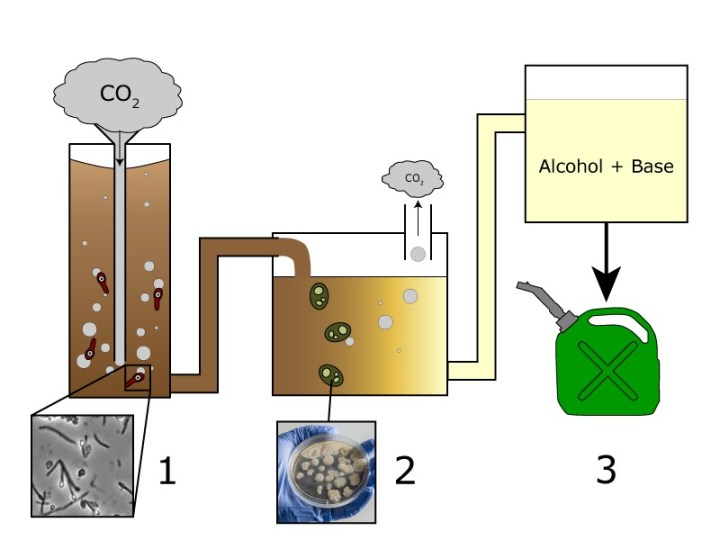 Figure 1. Schematic of the reactor used by Stephanopoulos's group. In stage 1, M. thermoacetica bacteria consume carbon dioxide and produce acetic acid, which is pumped into stage 2. In stage 2, Y. lipolytica yeast consume the acetic acid and produce lipids. These lipids are reacted with alcohol in a basic solution in stage 3, which produces the biodiesel. Photos adapted from Kanijoman and the Environmental Molecular Sciences Laboratory.